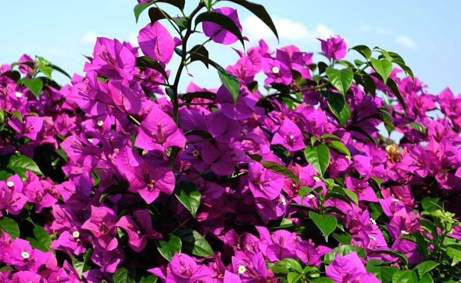Bougainvillea Tips + Billboard Reggae Album Charts
