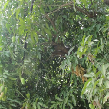 Jamaican Man Electrocuted Picking Mangoes